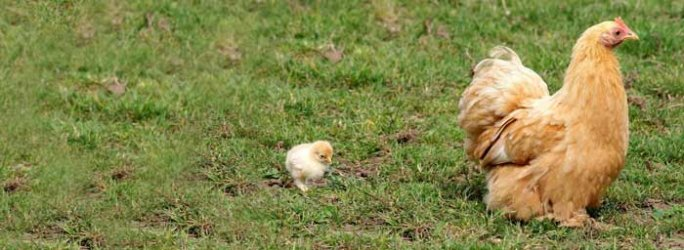Buff Pekin hen & chick